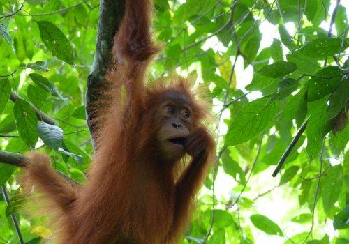 En voyage, avec les orangs-outans - 17h
